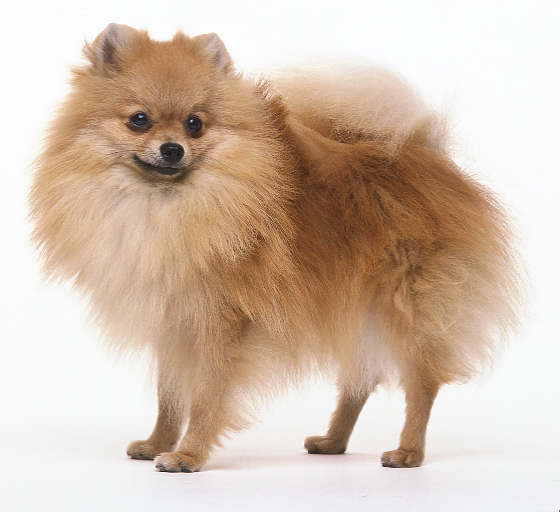 Breed Profile: Pomeranian | New York City Dog - Part 1
