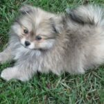 pomeranian_puppy