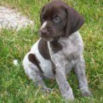 GSP_puppy
